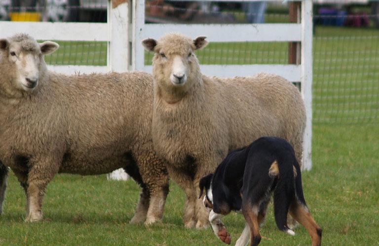 FMG Sheep Dog Trials